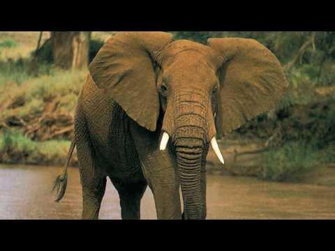 Какая разница между Индийским и Африканским слоном? Кто опаснее, Африканский или Индийский слон?