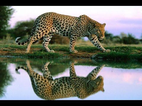 Дикие кошки. Хищники Африки. Леопарды. Фильм от National Geographic