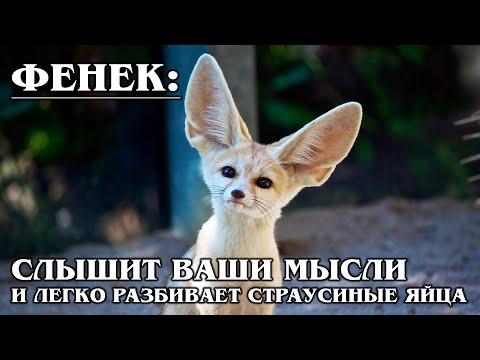 ФЕНЕК: Самая маленькая и милая пустынная африканская лисица | Интересные факты про лисиц и животных
