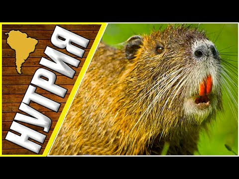 Нутрия, нутрия в дикой природе, животные южной Америки