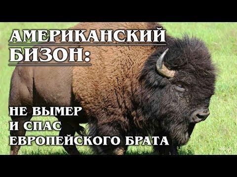 АМЕРИКАНСКИЙ БИЗОН: Чуть не вымер сам, но спас европейского зубра   Факты про бизонов и зубров