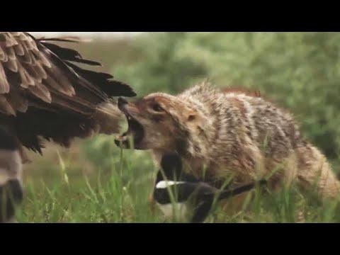 Обыкновенный шакал – злобный и хитрый воришка! Самый приспособленный хищник!