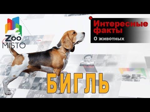 Бигль - Интересные факты о породе | Собака породы бигль