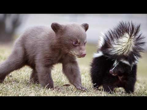 СКУНС В ДЕЛЕ! Скунс против медведя, змеи, собаки, кошки, барсука и других