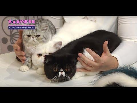ЛапУшки 21 Экзотическая короткошёрстная кошка
