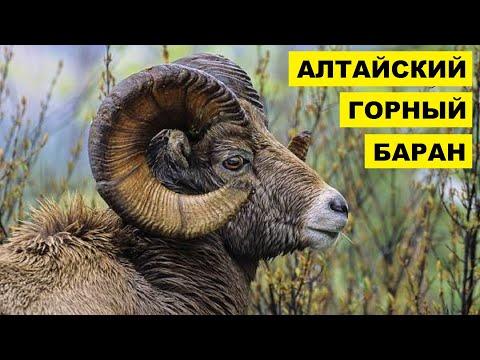 Алтайский горный баран описание, характеристика и особенности породы
