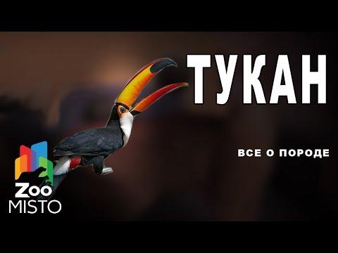 ТУКАН - Все о ВИДЕ ПТИЦЫ  ВИД ПТИЦ - ТУКАН