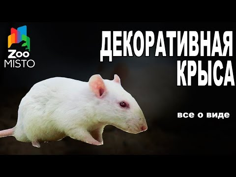 Декоративная Крыса - Все о виде грызуна | Вид грызуна - Декоративная Крыса