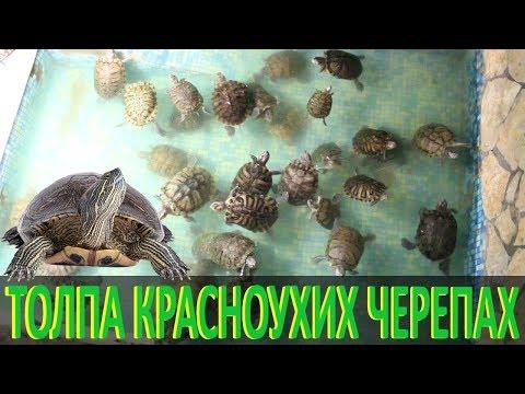 Толпа красноухих черепах!
