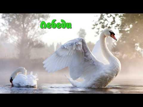 Лебеди - грациозные птицы. Детям про лебедей