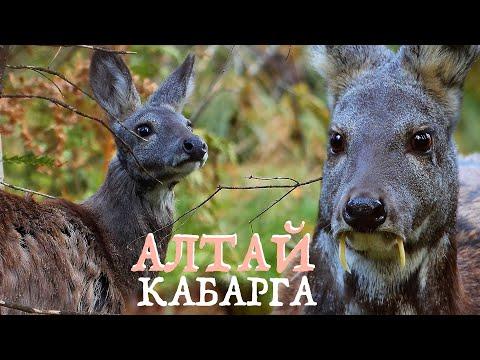 Алтай: КАБАРГА - олень с клыками | Film Studio Aves
