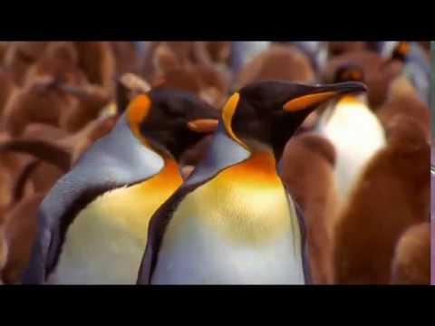 Антарктида. Императорский пингвин