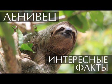 Ленивец - интересные факты
