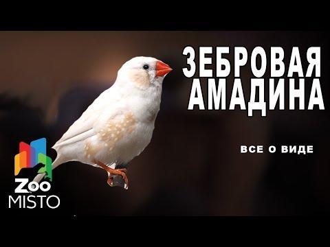 Зебровая амадина - Все о виде птицы  Вид птицы - Зебровая амадина