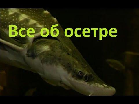 Диалоги о рыбалке - 192 - Осетр.