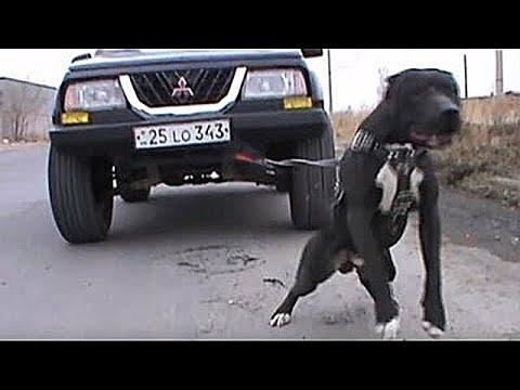 10 самых сильных пород собак в мире #1