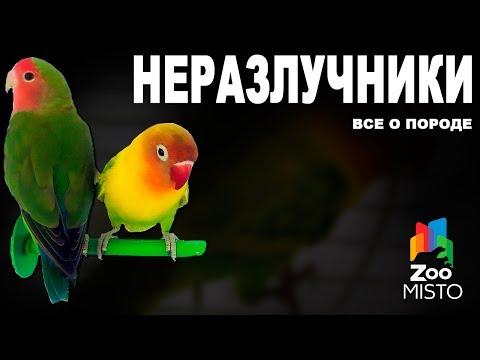 Неразлучники - Все о породе попугаев | Попугай породы - Неразлучник