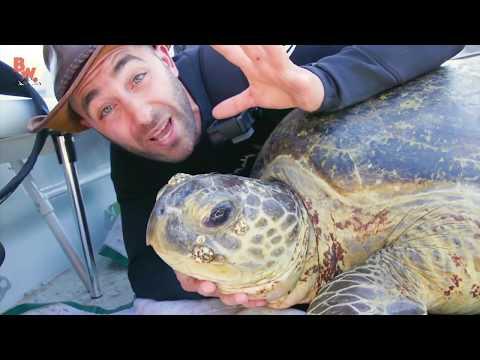 Поймали МОРСКУЮ ЧЕРЕПАХУ Гигантская зеленая морская черепаха Brave Wilderness на русском