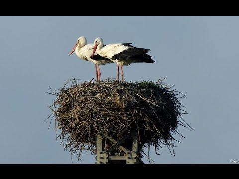 Гнездо аиста - будьте осторожны