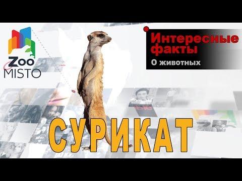 Сурикат - Интересные факты о виде | Вид млекопитающих сурикат