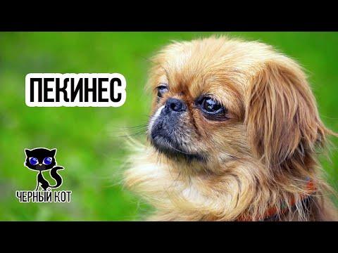 ✔ Пекинес - императорская собака родом из Китая