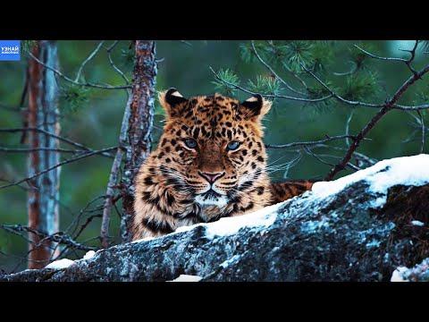 Амурский Леопард – Самая Редкая Большая Кошка в Мире!