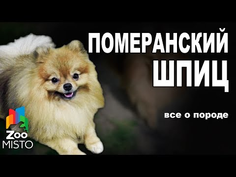 Померанский Шпиц - Все о породе собаки | Собака породы - Померанский Шпиц
