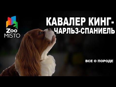 Кавалер кинг-чарльз-спаниель - Все о породе собаки | Собака породы кавалер кинг-чарльз-спаниель