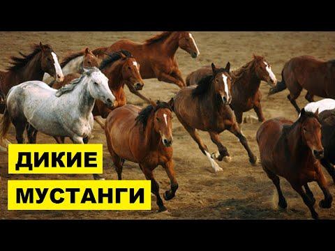 Лошади Мустанг особенности породы | Коневодство | лошади породы Мустанг