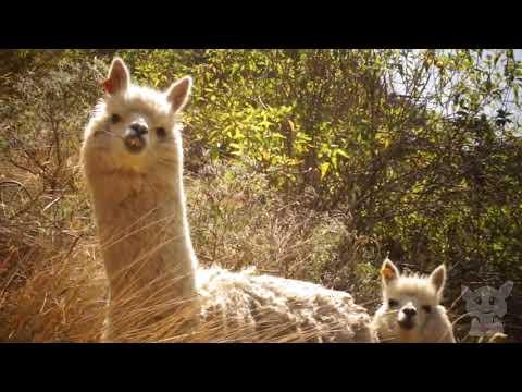 Смешные и забавные альпаки. Очень смешное видео | Funny alpacas (Животные №1)