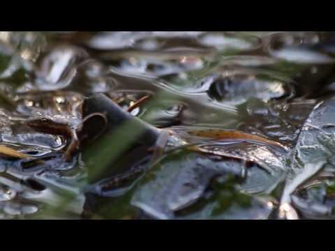Обыкновенный тритон / Lissotriton vulgaris / Smooth newt