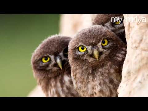 Где живут домовые сычи в дикой природе. Субтитры! Little owls in the Wild.
