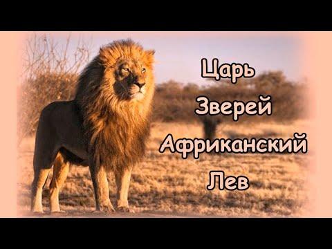 Царь Зверей Африканский Лев Интересные Факты