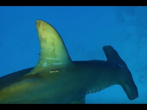 Акула-молот выходит на охоту   Неделя акул   Discovery Channel