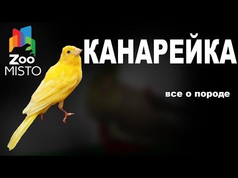 Канарейка - Все о виде птицы   Вид птицы - канарейка