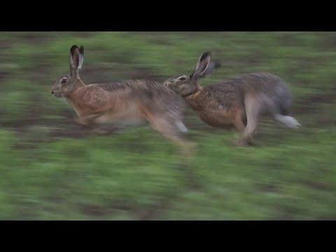 В мире животных. Брачные игры зайцев.