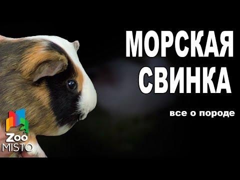 Морская свинка - Все о виде грызуна   Вид грызуна - Морская свинка