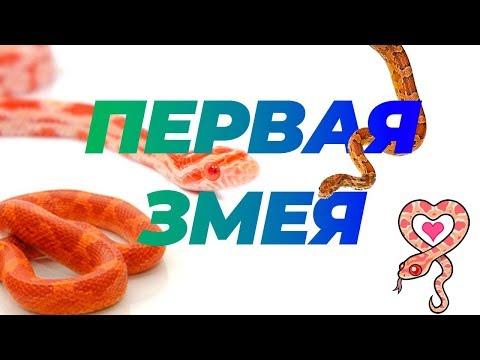 Эта змея заставит вас полюбить ее: маисовый полоз