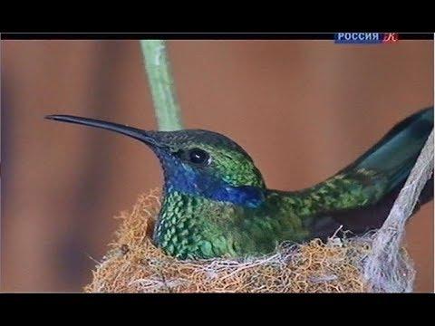 Колибри. Самоцветы животного мира