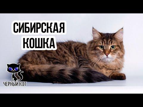 ✔ Сибирская кошка – русская красавица с роскошной шерстью и отлично развитым охотничьим инстинктом