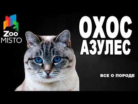 Охос азулес - Все о породе Кошки | Кошка породы - Охос азулес
