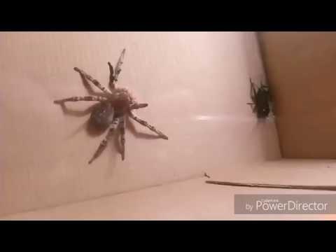 Кормление тарантула сверчком !)