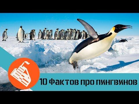 10 ФАКТОВ ПРО ПИНГВИНОВ   Почему пингвины не летают?