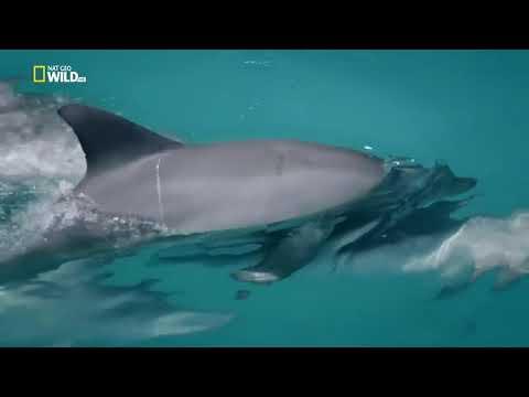Дельфины.Документальный познавательный фильм!