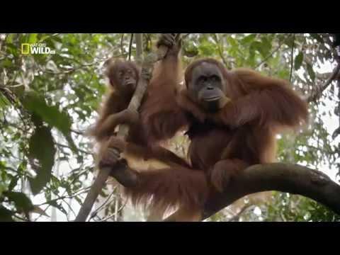 Последний рай орангутанов. The Last Orangutan Eden
