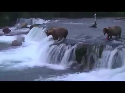Медведи ловят лосося идущего на нерест