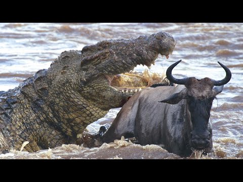 На что способен нильский крокодил? Самый опасный хищник Африки!