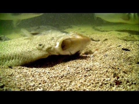 Big flatfish attack fishing lure underwater. HD Крупная камбала атакует искуственную приманку.