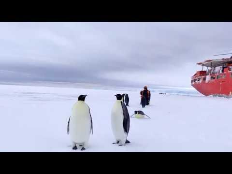 Контакт с местным населением. Императорские пингвины