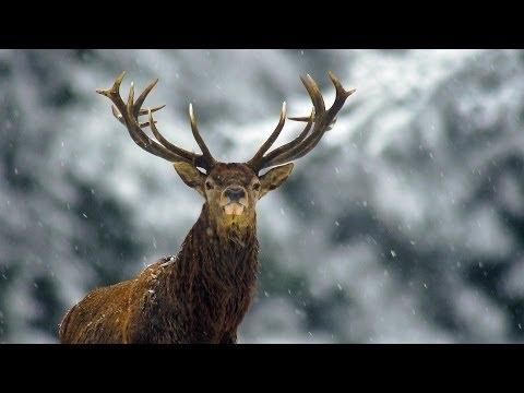 Благородный олень зимой   Film Studio Aves